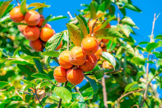 芋・柿の収穫、柚子胡椒・陶芸・門松の製作体験開始イメージ